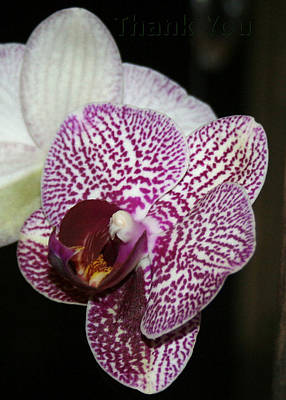 Orchids Photograph - Pink White Orchids 2 And A Reminder To Utter The Words Thank You. by Raenell Ochampaugh