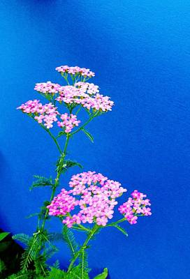 Photograph - Pink Yarrow by Mike Breau