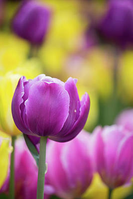 Pink, Yellow And Purple Tulips Blooming Art Print