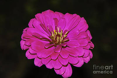 Photograph - Pink Zinnia 2 by Mary Carol Story