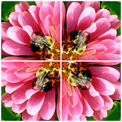 Photograph - Pink Zinnia And Bee Collage by Jean Wright