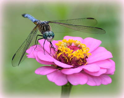 Photograph - Pink Zinnia Dragonfly 1 by Sheri McLeroy