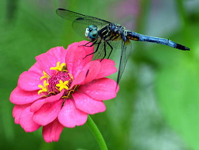 Photograph - Pink Zinnia Dragonfly 2 by Sheri McLeroy
