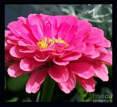 Photograph - Pink Zinnia  by Eunice Miller