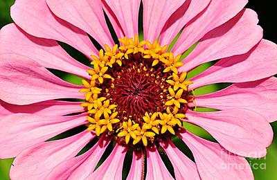 Pink Zinnia Macro Original