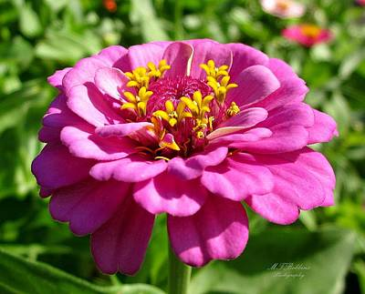 Photograph - Pink Zinnia by MTBobbins Photography