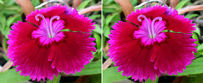 Photograph - Pinks Flower In 3d Stereo by Duane McCullough