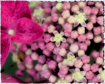 Photograph - Pinky Buds by Maureen Cunningham