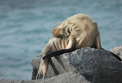 Photograph - Pinniped Slumber 2 by Fraida Gutovich