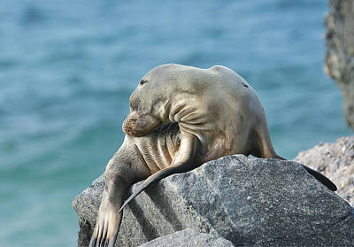 Photograph - Pinniped Slumber by Fraida Gutovich