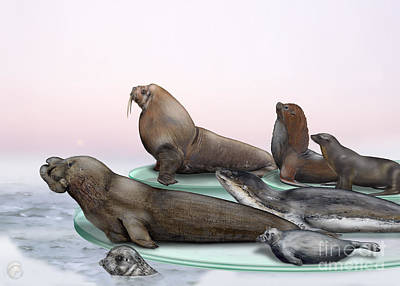 Painting - Pinnipeds  - Walruses Odobenidae - Eared And Earless Seals Otariidae Phocidae - Interpretive Panels by Urft Valley Art