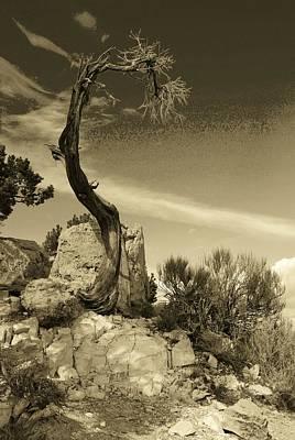 Photograph - Pinon Pine by John Schneider