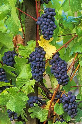 Pinot Noir Photograph - Pinot Noir Grapes by Greg Vaughn