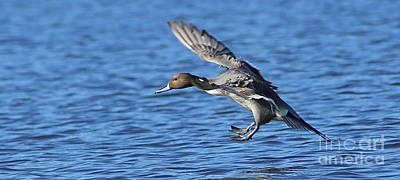 Painting - Pinpoint Pintail Landing by Sue Harper