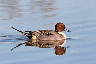 Photograph - Pintail Drake Reflections by Kathleen Bishop