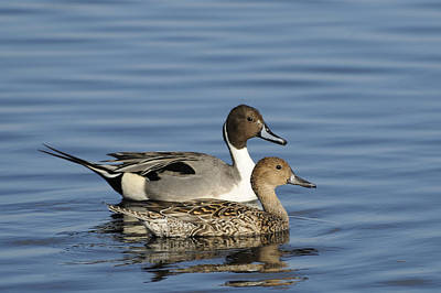 Photograph - Pintail Duck Pair by Bradford Martin