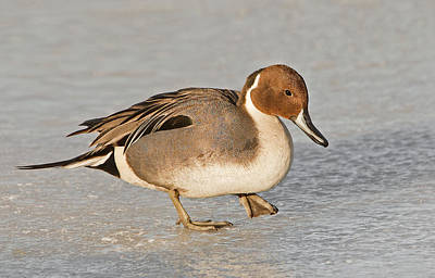 Duck Photograph - Pintail Duck by Susan Candelario