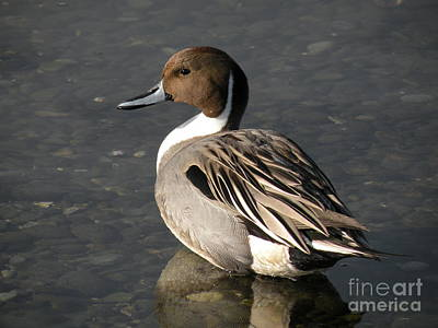 Pintail Duck Art Print