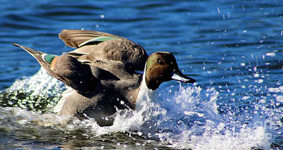 Painting - Pintail Duck Landing by Sue Harper