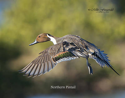 Photograph - Pintail by Mike Fitzgerald