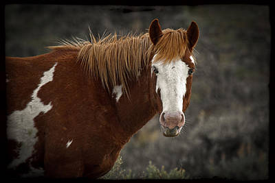Forelock Photograph - Pinto by Wes and Dotty Weber