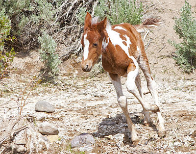 Photograph - Pinto Foal Running by Lula Adams