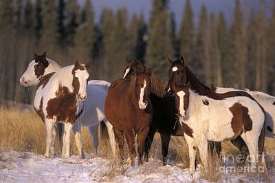 Pinto Horses Photograph - Pinto Horses by Rolf Kopfle