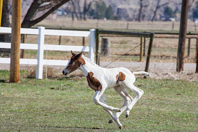 Warmblood Horse Photograph - Pinto Oldenburg Warmblood Foal Jumping by Piperanne Worcester