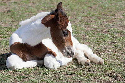 Paint Foal Photograph - Pinto Oldenburg Warmblood Foal by Piperanne Worcester