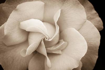 Pinwheel Rose Art Print by Cathy Donohoue