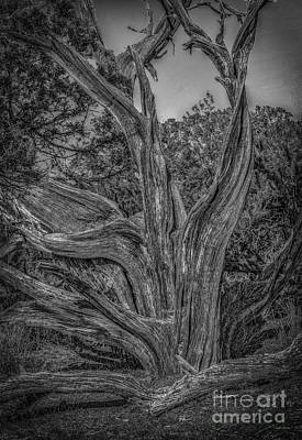 Photograph - Pinyon Pine by David Waldrop