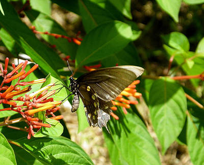 Photograph - Pipevine Butterfly by Judy Wanamaker