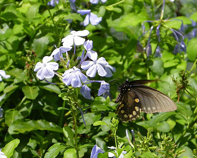 Photograph - Pipevine Butterfly On Plumbago by Judy Wanamaker