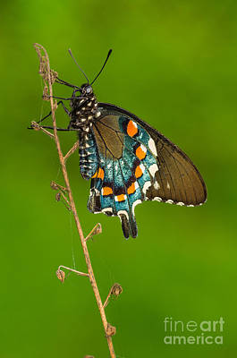 Blue Swallowtail Photograph - Pipevine Swallowtail by Anthony Heflin