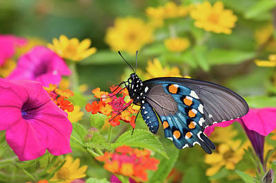 Blue Swallowtail Photograph - Pipevine Swallowtail Battus Philenor by Panoramic Images