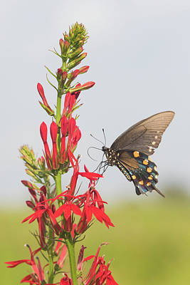 Pipevine Swallowtail Butterfly Photograph - Pipevine Swallowtail (battus Philenor by Richard and Susan Day