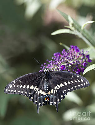 Battus Philenor Photograph - Pipevine Swallowtail Butterfly On Flowers by Brandon Alms
