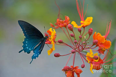 Pipevine Swallowtail Butterfly Photograph - Pipevine Swallowtail Butterfly by Richard and Ellen Thane
