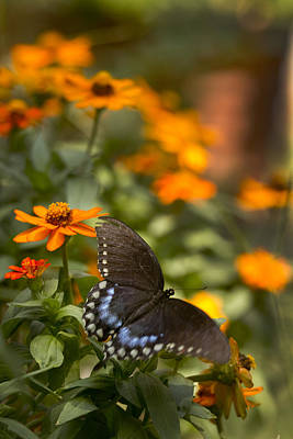 Photograph - Pipevine Swallowtail In Vinnia by Robert Camp