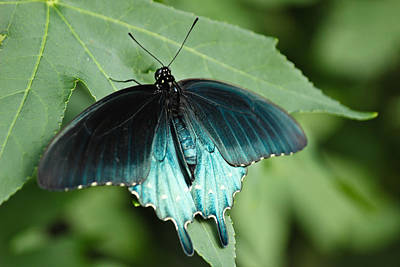 Photograph - Pipevine Swallowtail by Julie Andel
