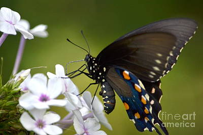 Photograph - Pipevine Swallowtail by Kathy Gibbons