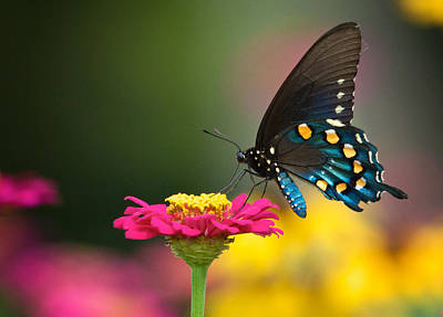 Photograph - Pipevine Swallowtail by Linda Shannon Morgan