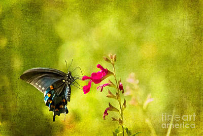 Photograph - Pipevine Swallowtail by Marianne Jensen