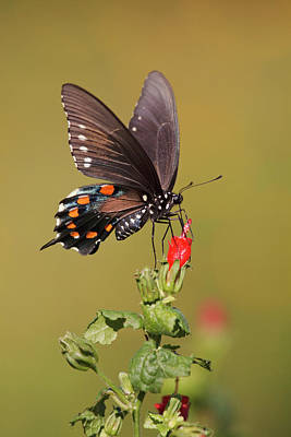 Ies Photograph - Pipevine Swallowtail Nectaring by Larry Ditto