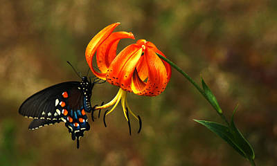 Wall Art - Photograph - Pipevine Swallowtail On A Tiger Lily by Daniel Amick