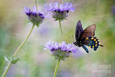 Photograph - Pipevine Swallowtail On Chaparrel Sage by Marianne Jensen