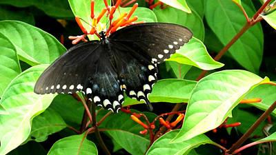 Photograph - Pipevine Swallowtail On Fire Bush by Judy Wanamaker