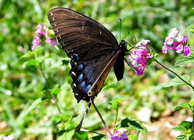 Photograph - Pipevine Swallowtail On Lantana by Judy Wanamaker