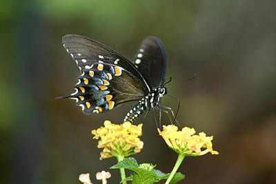 Photograph - Pipevine Swallowtail by Robert Camp