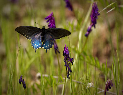 Photograph - Pipevine Swallowtail by Robert Woodward